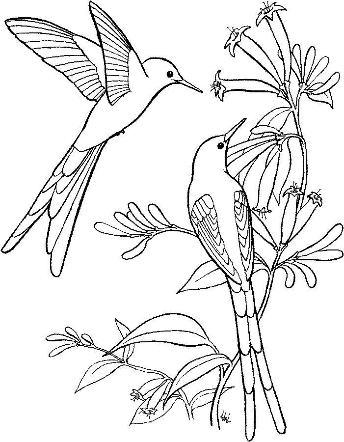 Hummingbird Coloring Pages Swallow Tail