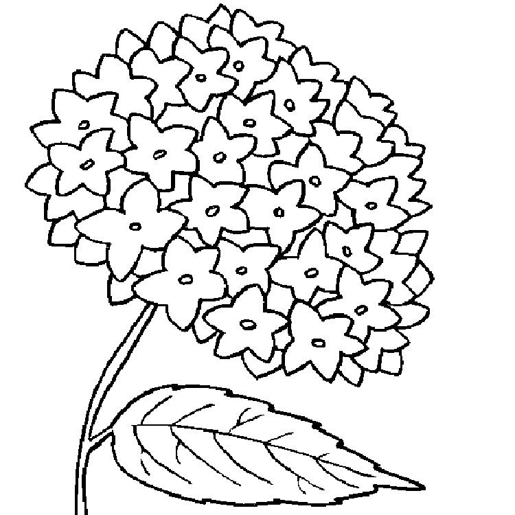 Hydrangea Flower Coloring Pages