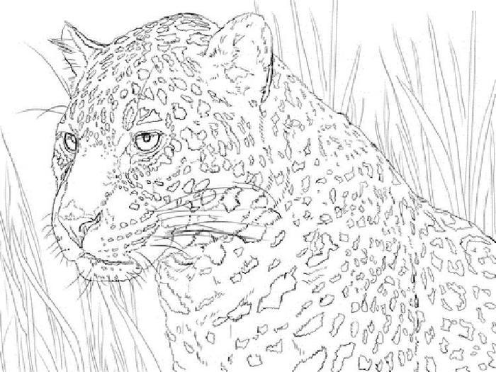 Jaguar Portrait Coloring Pages