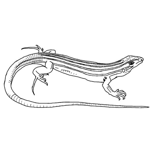 Lizard Coloring Pages Desert Whiptail