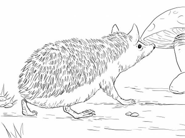 Long Eared Hedgehog Coloring Pages