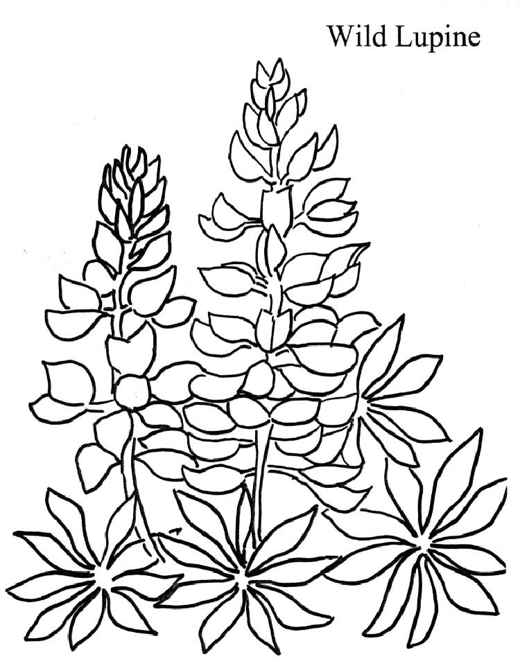 Lupine Flower Coloring Pages