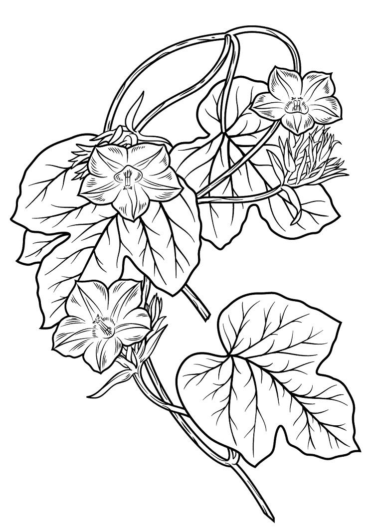 Morning Glory Flower Coloring Pages