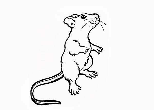 Mouse And Rat Standing On Two Feet Coloring Pages