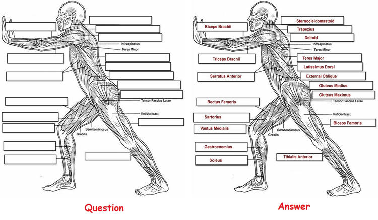 Muscles And Human Of Anatomy Coloring Pages