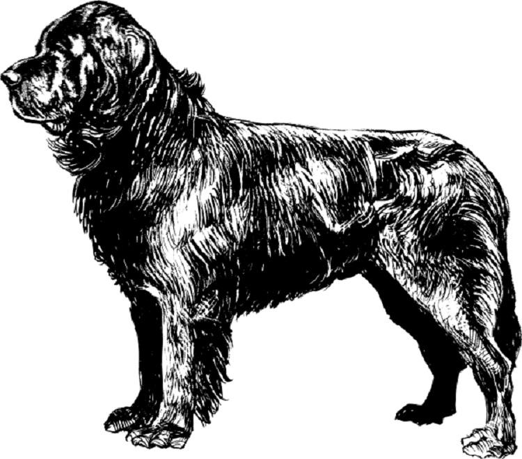 Newfoundland Dog Coloring Pages