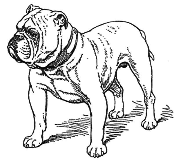 Old Bulldog Coloring Pages
