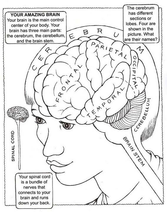 Parts And Functions Of Brain Drawing Picture