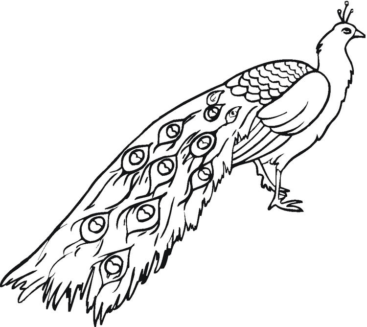 Peacock Coloring Pages Long Tail