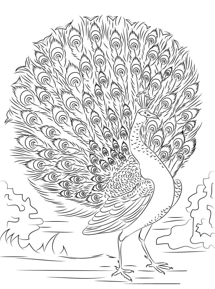 Peacock Coloring Pages Tail Open For Adults