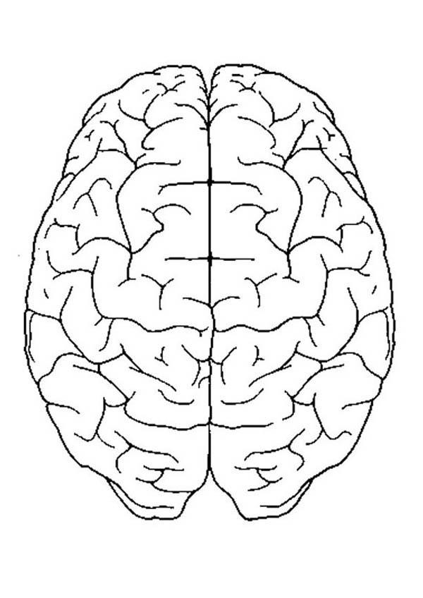 Perfect Brain In Human Anatomy Coloring Pages