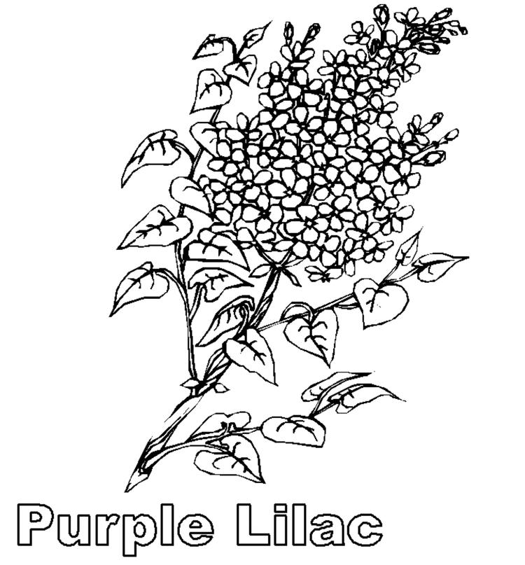 Purple Lilac Flower Coloring Page