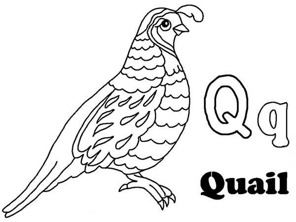 Q Is For Quail Learning Letter Q Letter Q Coloring Page