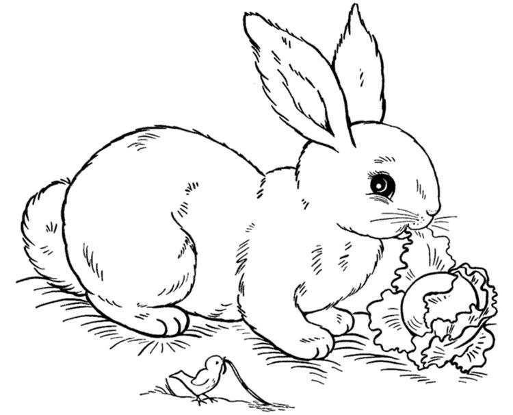 Rabbit Coloring Pages Eating Cabbage