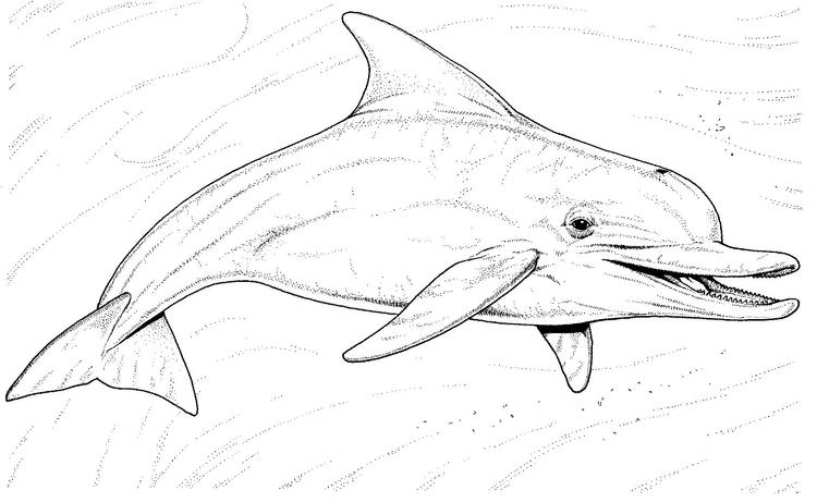 Realistic Dolphin Coloring Pages Underwater