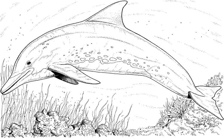 Realistic Dolphin Coloring Pages