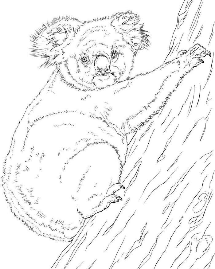 Realistic Koala Coloring Pages