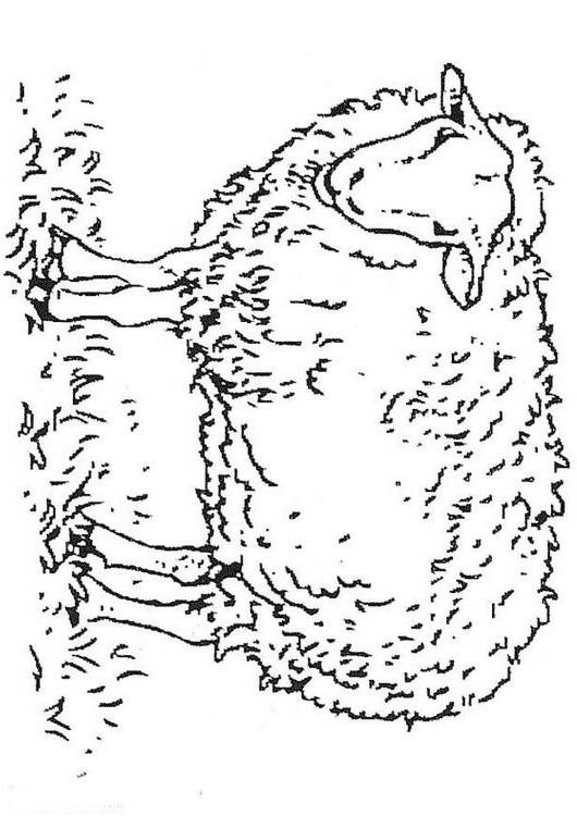 Realistic Sheep Coloring Pages