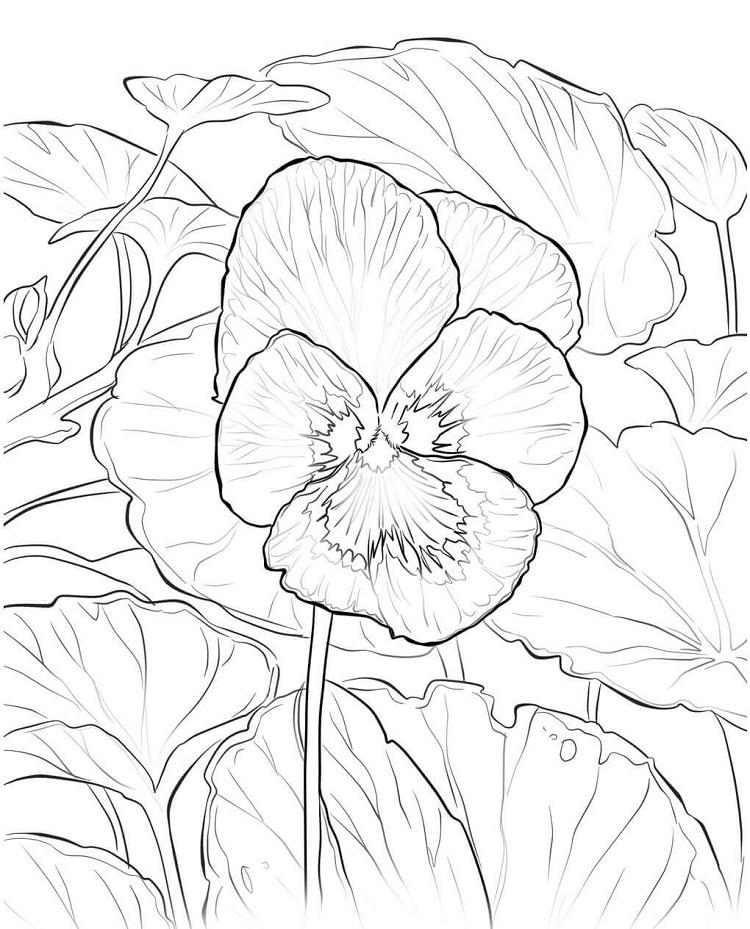 Rhode Island Flower Coloring Pages