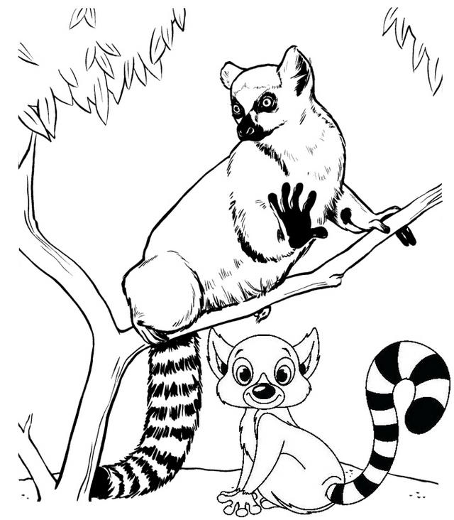 Ring Tailed Lemur Real And Cartoon Coloring Page