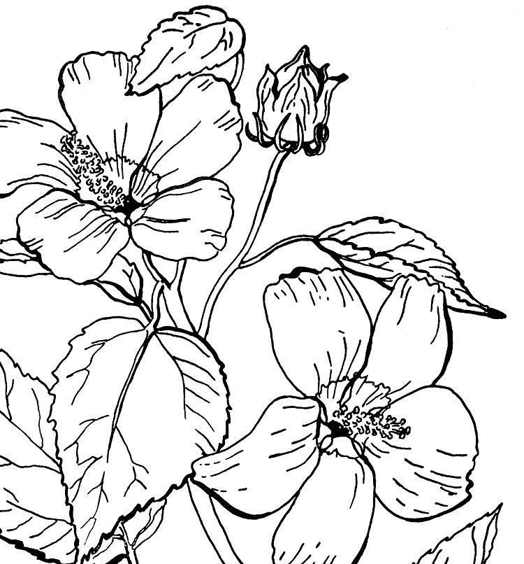 Rose Of Sharon Coloring Pages