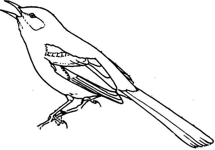 Song Bird Coloring Pages