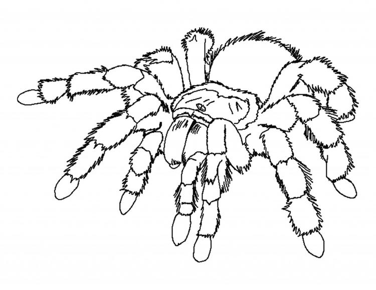 Spider Coloring Pages Tarantula