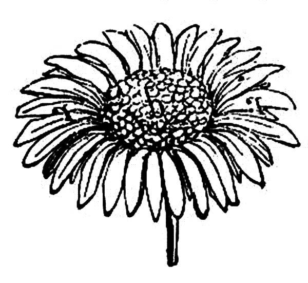 Sprig Of Aster Flower Coloring Pages