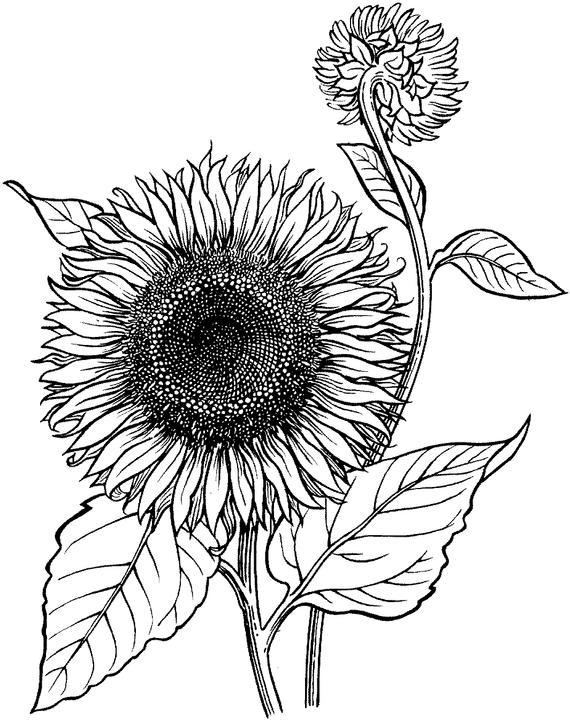 Sunflower Coloring Pages Realistic