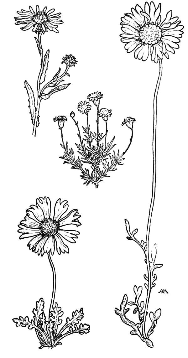 Tall Aster Machaeranthera Flower Coloring Pages