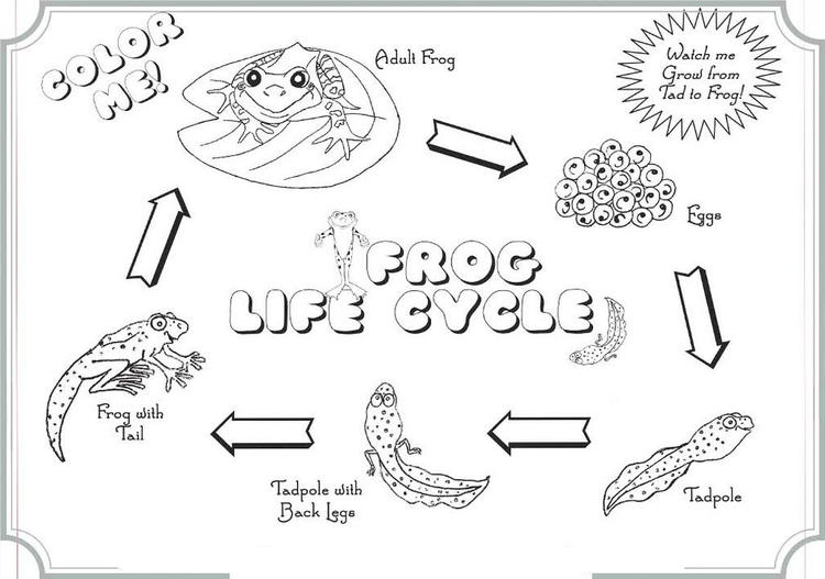 The Life Cycle Of Frog Coloring Books