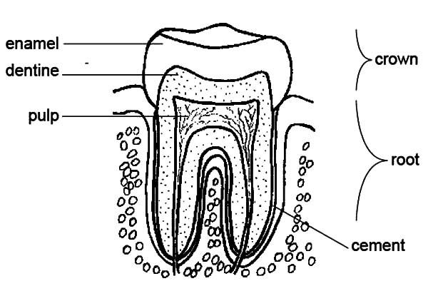 Tooth Anatomi Coloring Pages