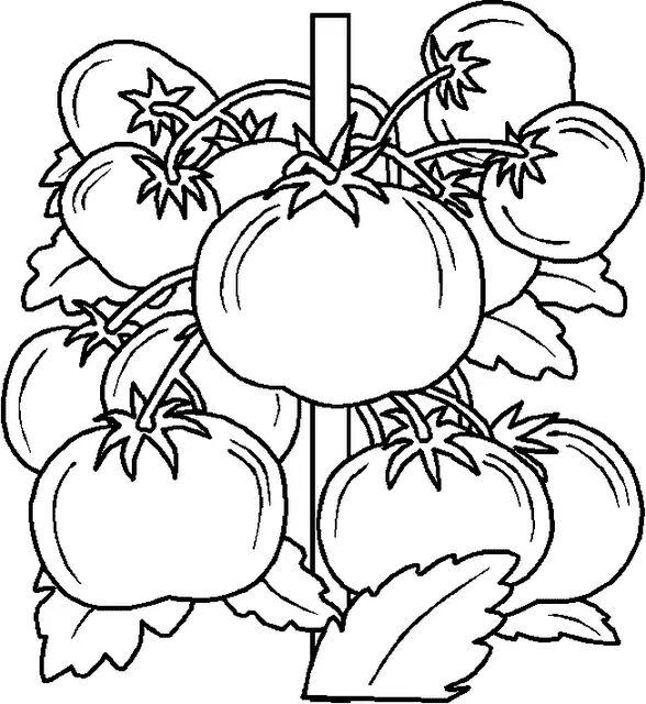 Vegetable Coloring Pages Tomattoes
