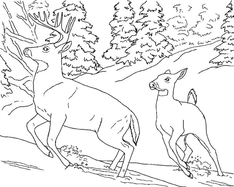 Whitetail Deer Coloring Pages To Print