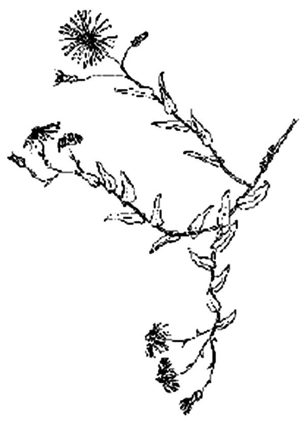 Wild Aster Flower Coloring Pages