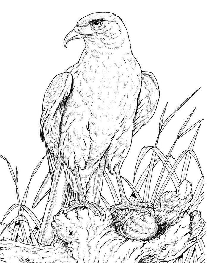 Wildlife Golden Eagle Coloring Pages