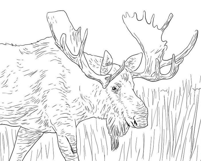 Wildlife Moose Coloring Pages