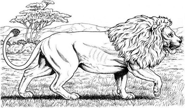 Wildlife Mountain Lion Coloring Pages