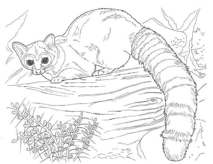 Wildlife Raccoon Coloring Pages