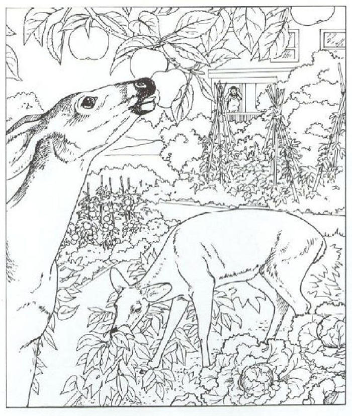 Wildlife Whitetail Deer Coloring Pages