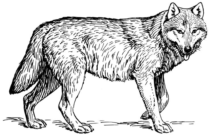 Wolf Coloring Pages Realistic