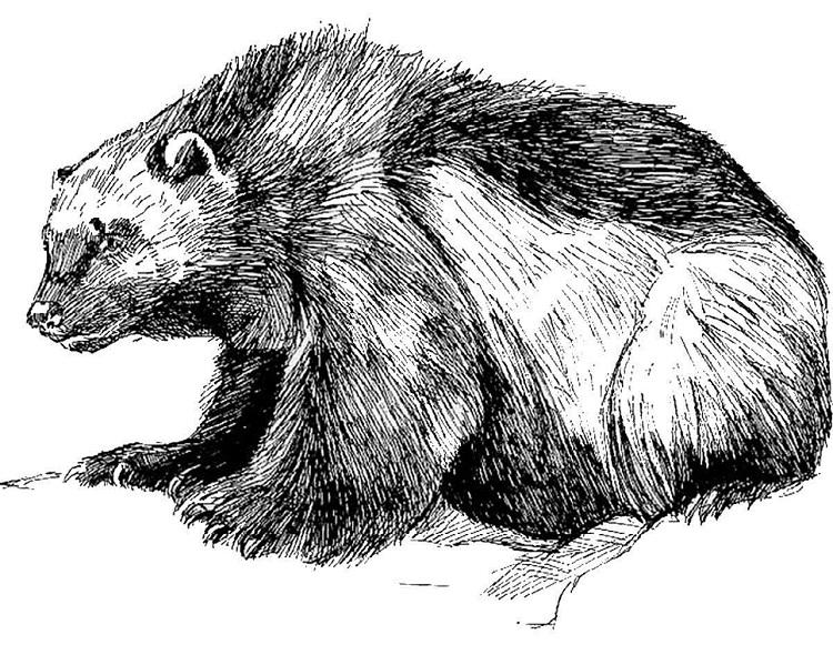 Wolverine Animal Coloring Pages