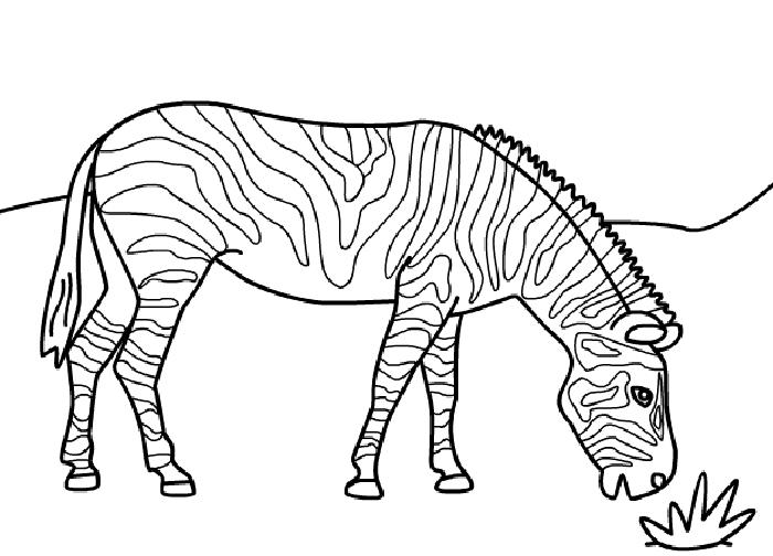 Zebra Coloring Pages Eating Grass