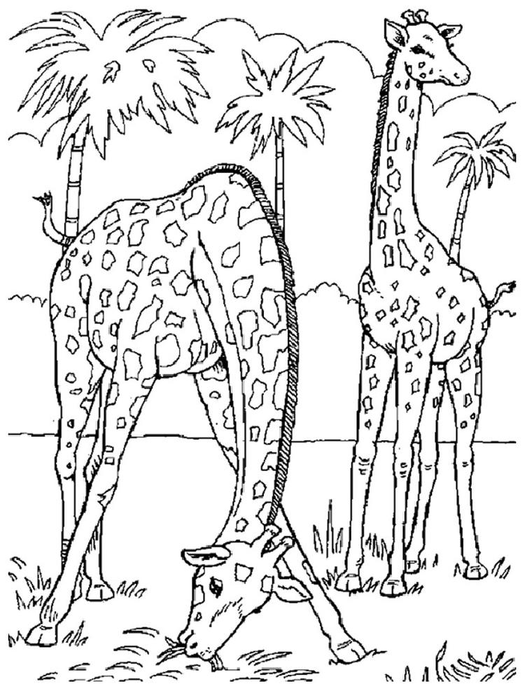 Zoo Animal Coloring Pages Two Giraffes